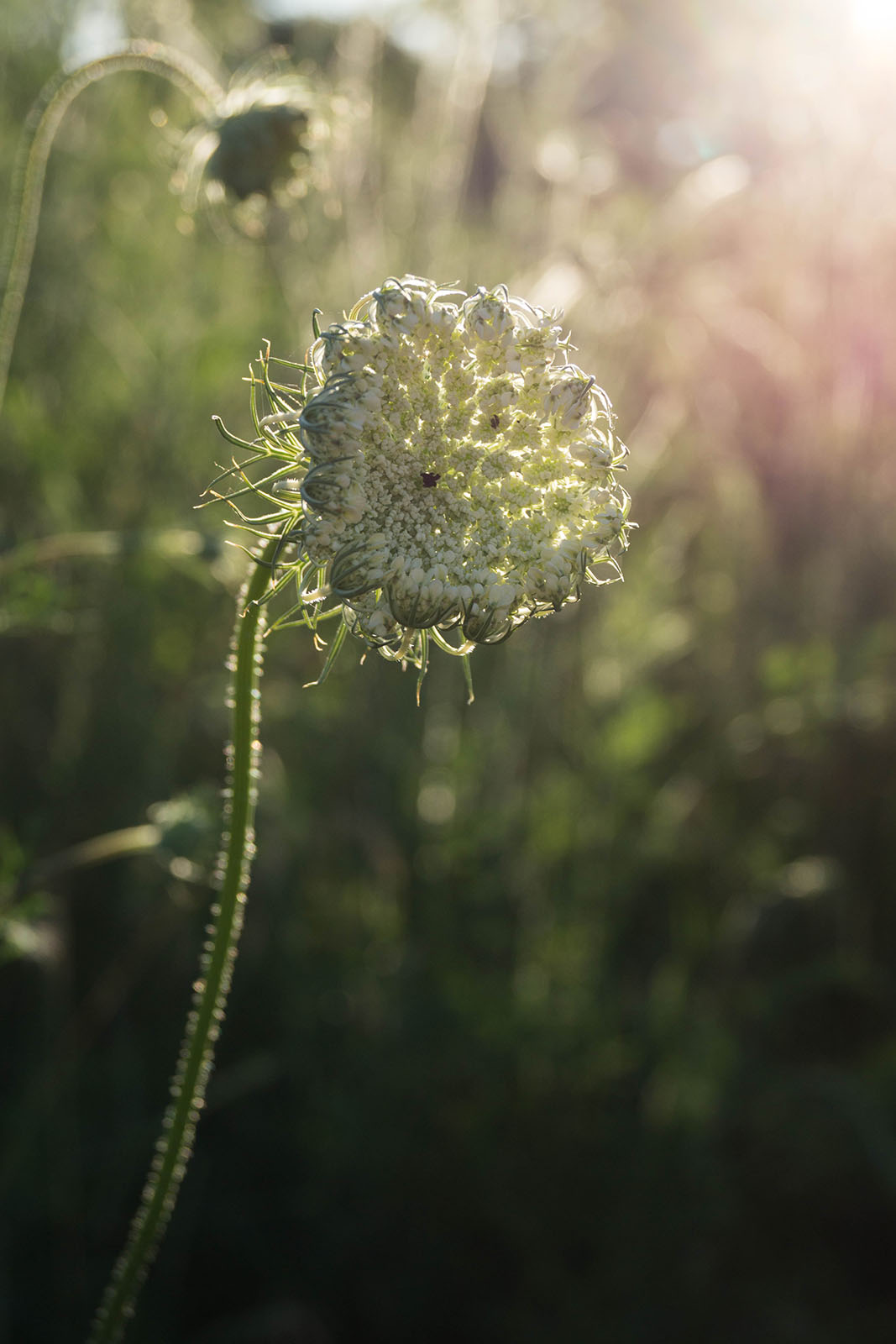 Queen's Lace copyright @ Ashley Bremer