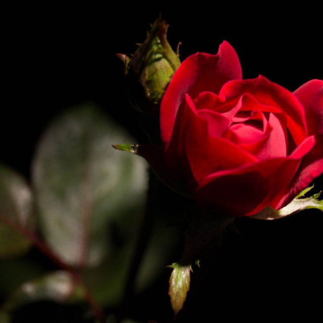 Rose of the Night copyright @ Ashley Bremer